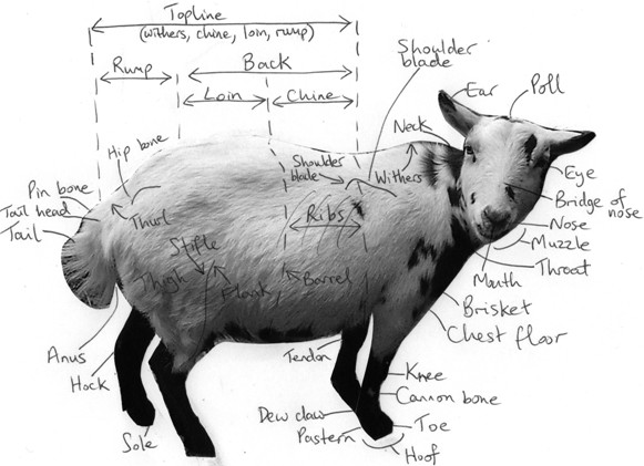 Diagram of pygmy goat