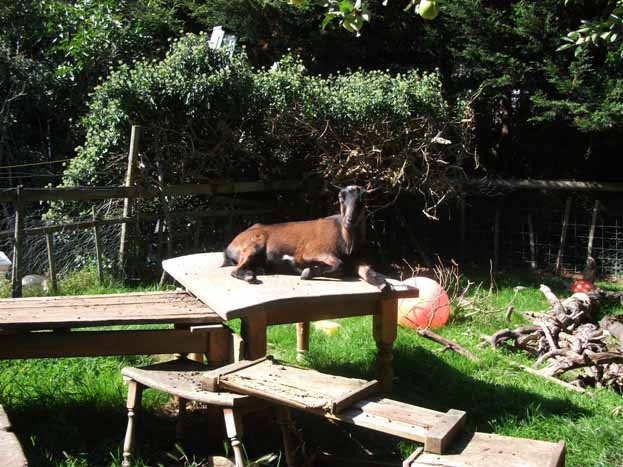 Caring for pygmy goats - Henry and Joey: Pet Pygmy Goats